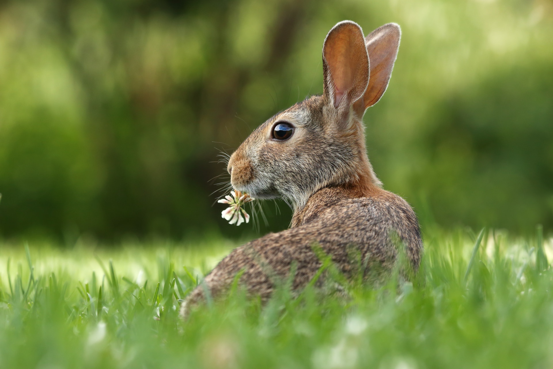 Rabbit eating a flower
