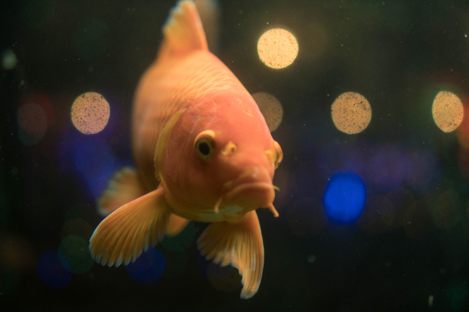 Image of goldfish